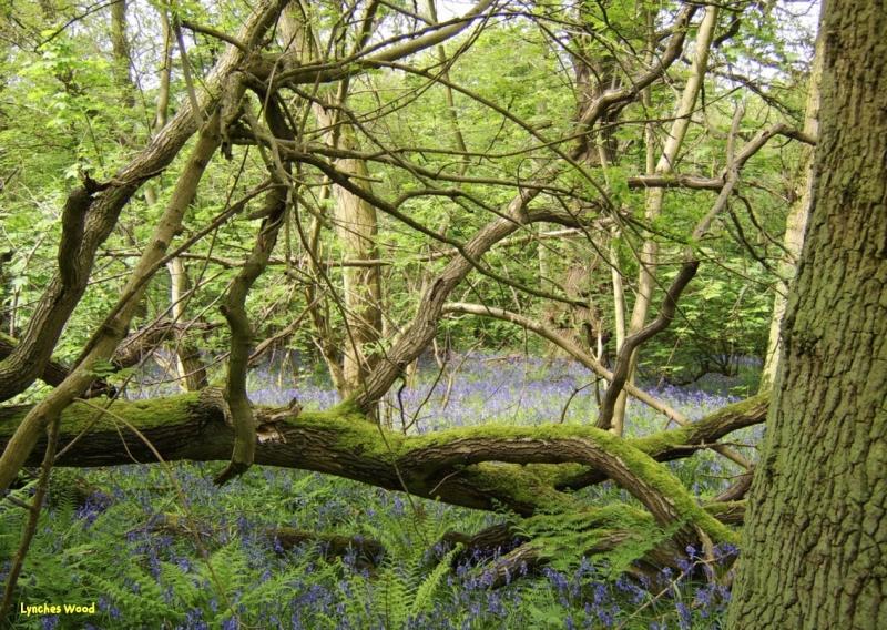 Lynches Wood